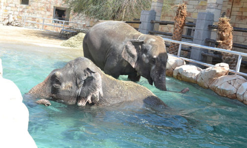 Meet the elephants at Emirates Park Zoo, Abu Dhabi