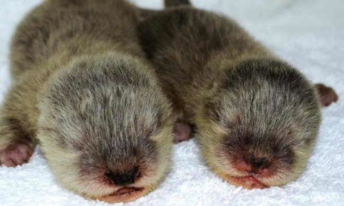Calling all kids! Dubai Aquarium wants YOU to name its new baby otters
