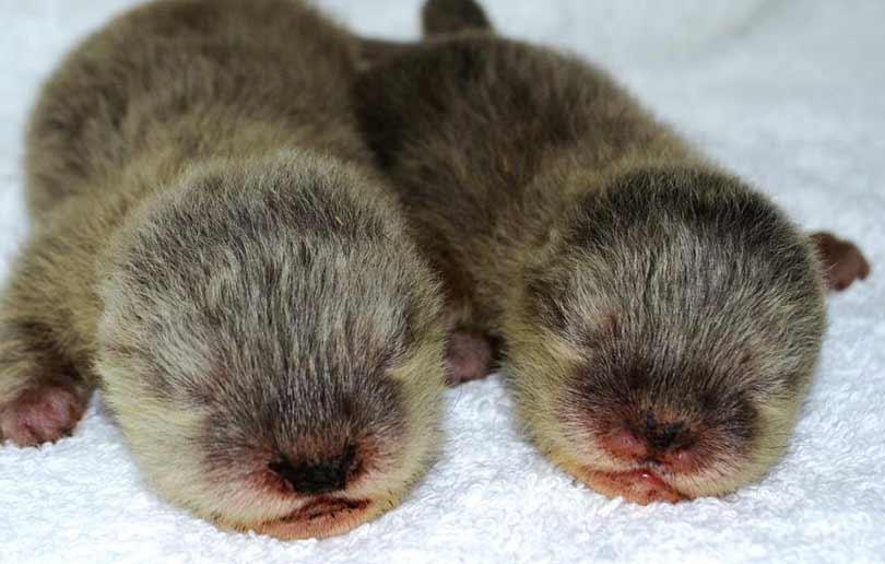 Dubai Aquarium baby otters